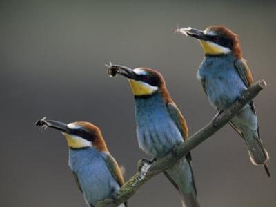 Beaks Replete with Prey, a Trio of Bee Eaters Eye their Nearby Nests