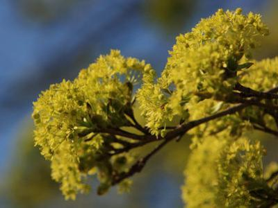 Inflorescence of Field Maple Tree, Acer Campestre