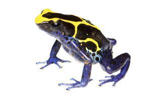 Dyeing Poison Frog (Dendrobates Tinctorius) The Kaw Mountains by Jp Lawrence