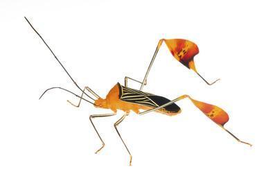 Flag-Footed Bug (Anisocelis Flavolineata) Gamboa, Panama Meetyourneighbours. Net Project