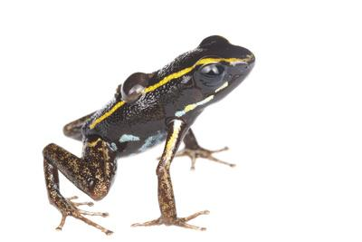 Lovely Poison Frog (Phyllobates Lugubris) Male with a Tadpole, Isla Colon, Panama, June