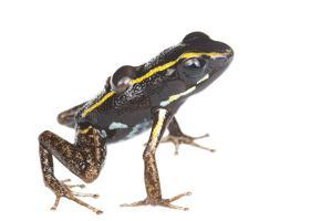 Lovely Poison Frog (Phyllobates Lugubris) Male with a Tadpole, Isla Colon, Panama, June by Jp Lawrence