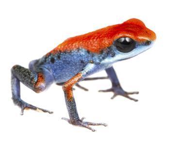 Strawberry Poison Frog (Oophaga Pumilio) Escudo De Veraguas, Panama. Meetyourneighbours.Net Project