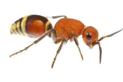 Velvet Ant (Dasymutilla Quadriguttata) Oxford, Mississippi, USA. Meetyourneighbours. Net Project