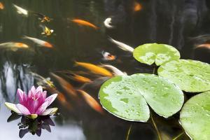 Lily Pad Pink Flower in Koi Pond by jpldesigns