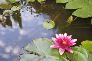 Pink Waterlily Flower Blooming in Koi Pond by jpldesigns