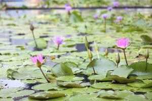 Pond with Pink Water Lilies by jpldesigns