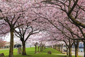 Rows of Cherry Blossom Trees in Bloom by jpldesigns