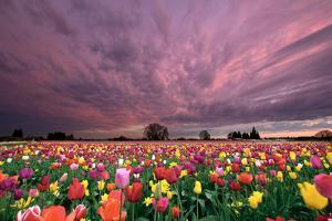 Sunset over Tulip Field by jpldesigns