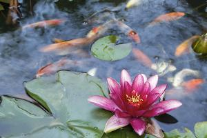 Water Lily Flower Blooming in Koi Pond by jpldesigns