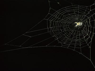Orb Weaver Spider on its Web
