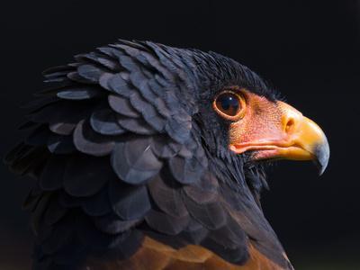Bateleur Eagle (Terathopius Ecaudatus) Head Portrait, Captive, Occurs in Africa