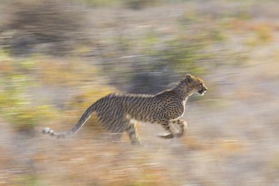 Cheetah (Acinonyx Jubatus) Running, Kalahari Desert, Botswana