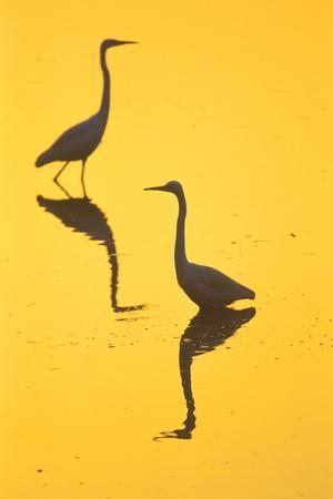 Two Great Egrets (Ardea Alba) Wading, Silhouetted At Dawn, Keoladeo National Park