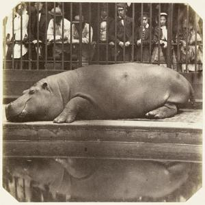 The Hippopotamus at the Zoological Gardens, Regent's Park, London, 1852 by Juan Carlos
