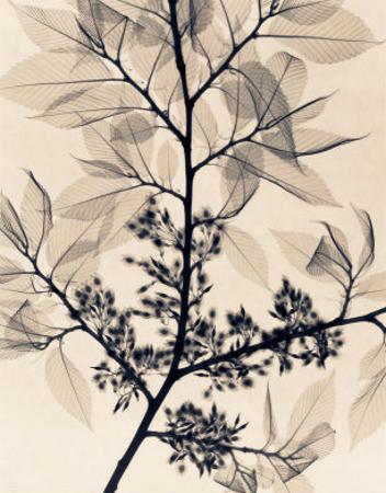 American Elm by Judith Mcmillan