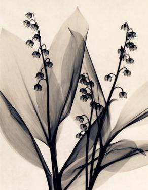Lily of the Valley by Judith Mcmillan