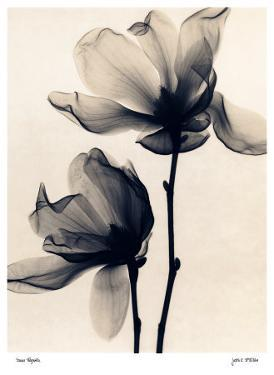 Saucer Magnolia by Judith Mcmillan