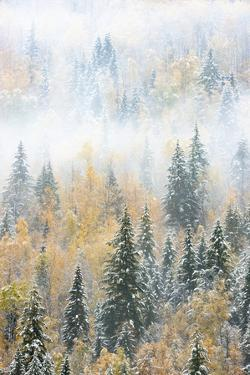 British Columbia, Canada. Early morning fog in a mixed tree forest, Wells Gray Provincial Park. by Judith Zimmerman