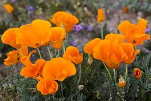 California. California Poppies, and Goldfields Blooming in Early Spring in Antelope Valley by Judith Zimmerman