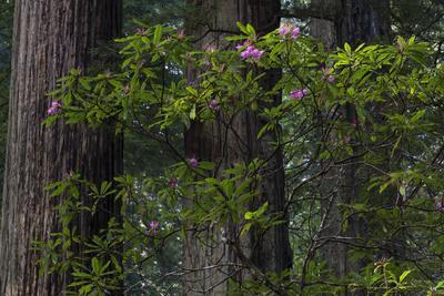 California. Costal Redwood and Rhododendron, Redwood National and State Park