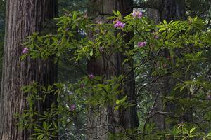 California. Costal Redwood and Rhododendron, Redwood National and State Park by Judith Zimmerman