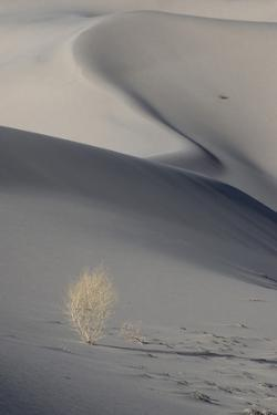 California. Death Valley National Park. Sunset Shadow on Dunes and Lone Plant in Eureka Sand Dunes by Judith Zimmerman