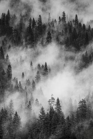 California. Yosemite National Park. Black and White Image of Pine Forests with Swirling Mist