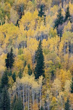Canada, British Columbia. Autumn aspen and pines, Wells-Gray Provincial Park. by Judith Zimmerman