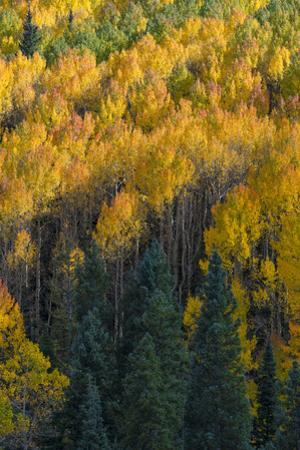 Colorado. Autumn Yellow Aspen and Fir in the Uncompahgre National Forest by Judith Zimmerman