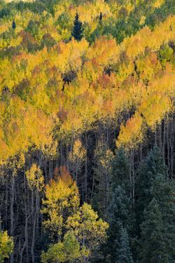 Colorado. Autumn Yellow Aspen, and Fir Trees, Uncompahgre National Forest by Judith Zimmerman