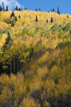 Colorado. Autumn Yellow Aspen and Fir Trees, Uncompahgre National Forest by Judith Zimmerman