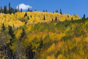 Colorado. Autumn Yellow Aspen, Mountains, and Clouds, Uncompahgre National Forest by Judith Zimmerman