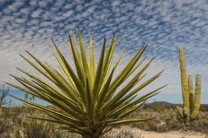 Mexico, Baja California. Yucca and Cardon Cactus with Clouds in the Desert of Baja by Judith Zimmerman