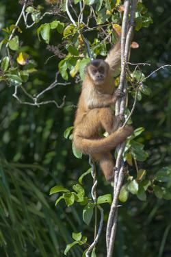 South America, Brazil, Pantanal Wetland, Capuchin Monkey Climbing a Vine in the Brazilian Jungle by Judith Zimmerman