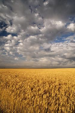 South Dakota, Summer Morning Wheat Fields on the South Dakota Prairie by Judith Zimmerman