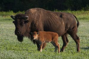 Theodore Roosevelt National Park, American Bison and Calf by Judith Zimmerman