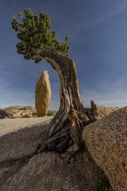 Twisted juniper growing from the granite rocks, Joshua Tree National Park by Judith Zimmerman