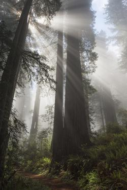 USA, California. Sunlight streaming through Redwoods in mist, Redwood National Park by Judith Zimmerman