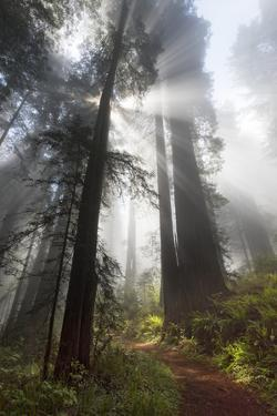 USA, California. Sunlight streaming through the redwood forest, Redwood National Park by Judith Zimmerman