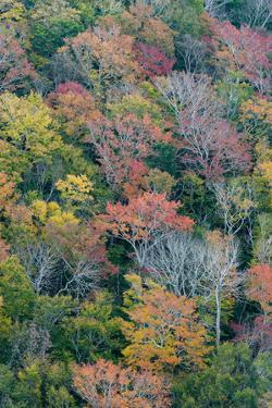 USA, Maine. Autumn foliage in the forests near Jordan Pond, Acadia National Park. by Judith Zimmerman