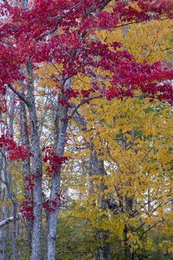 USA, Maine. Autumn foliage, Sieur de Monts, Acadia National Park. by Judith Zimmerman