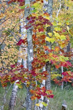 USA, Maine. Autumn foliage, Sugar Maple (Acer saccharum), Sieur de Monts, Acadia National Park. by Judith Zimmerman