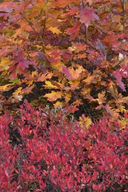 USA, Maine. Colorful autumn colors of Low Bush Blueberry and Bigleaf Maple, Acadia National Park. by Judith Zimmerman