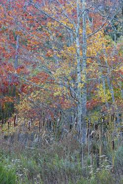 USA, Maine. Colorful autumn foliage in the forests of Sieur de Monts, Acadia National Park. by Judith Zimmerman