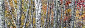 USA, Maine. Colorful autumn foliage in the forests of Sieur de Monts Nature Center. by Judith Zimmerman