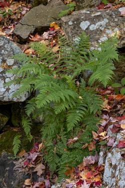 USA, Maine. Ferns growing among autumn foliage and boulders along Duck Brook, Acadia National Park. by Judith Zimmerman