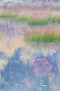 USA, Maine. Grasses and lily pads with reflections, the Tarn. Acadia National Park. by Judith Zimmerman