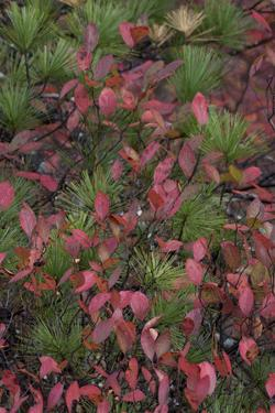 USA, Maine. Low bush blueberry and evergreen detail, New Mills Meadow Pond, Acadia National Park. by Judith Zimmerman
