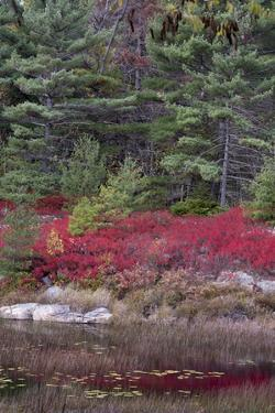 USA, Maine. Low bush blueberry and evergreen, New Mills Meadow Pond, Acadia National Park. by Judith Zimmerman